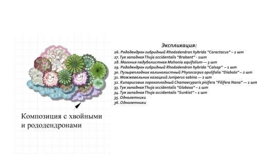 План-схема композиции из хвойных и рододендронов