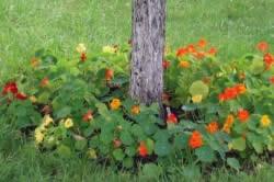 Цветник вокруг дерева без ограды