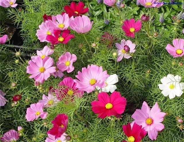 Садовые однолетние цветы фото