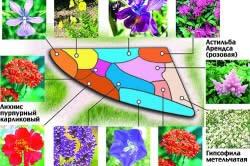 Схема клумбы из многолетних цветов