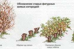 Схема ухода за живой изгородью
