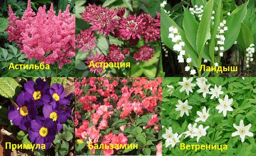 Многолетние цветы цветущие в тени