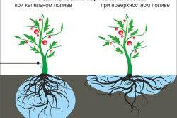 Сравнение формирования растения при капельном и поверхностном поливе
