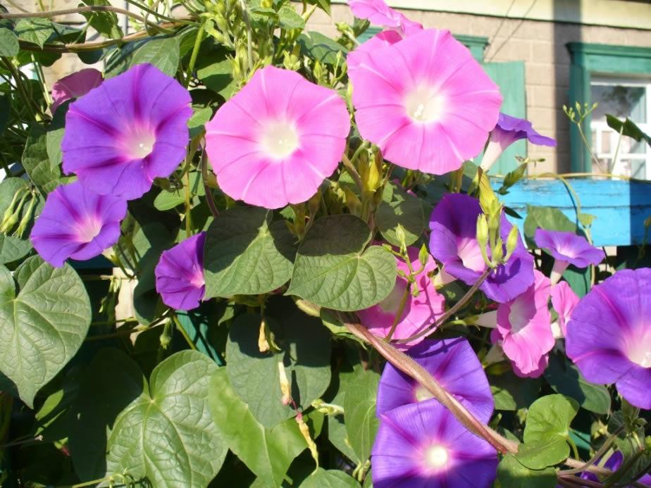 Вьющиеся цветы для вашего сада