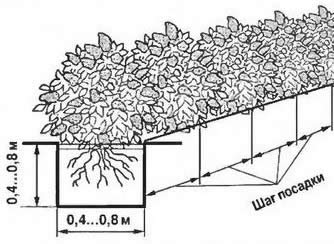 Правила посадки низкой однорядной живой изгороди