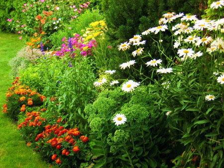 Очень часто в парках и в садах между деревьями можно встретить массивые многолетние цветы.