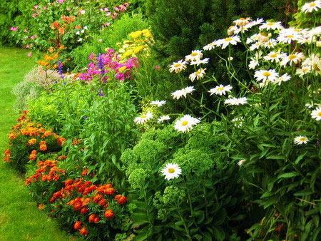 Многолетники отличаются своей долговечностью от неморозостойких однолетних цветов.