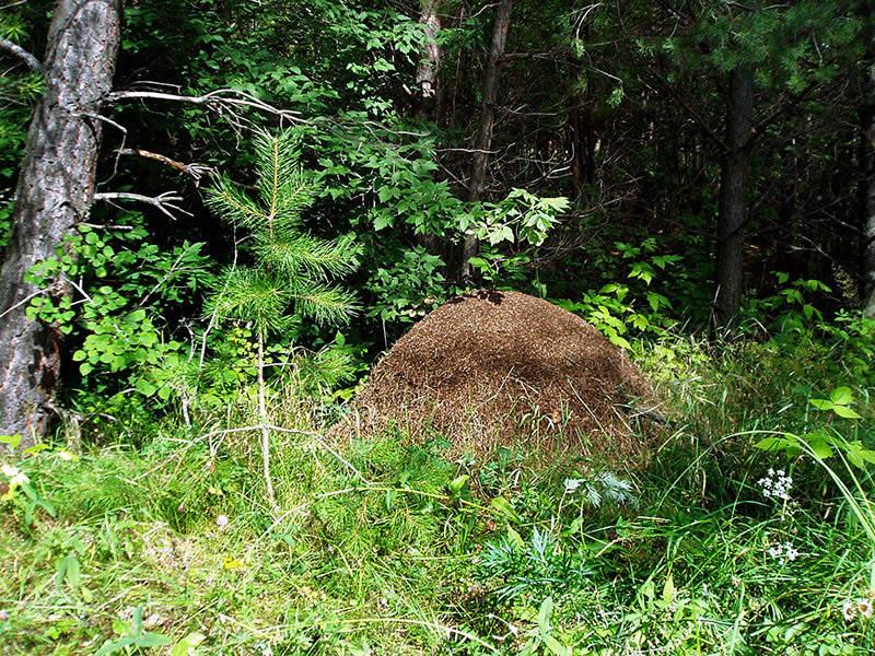 Муравьи не строят свои дома в местах, где близко протекают грунтовые воды.