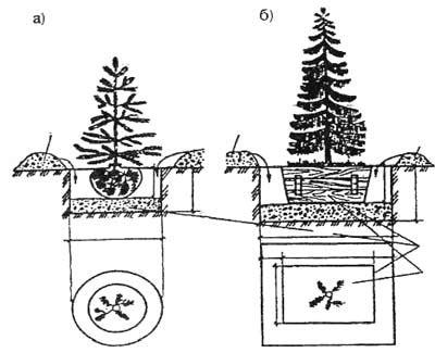 Схема посадки хвойных деревьев на участке