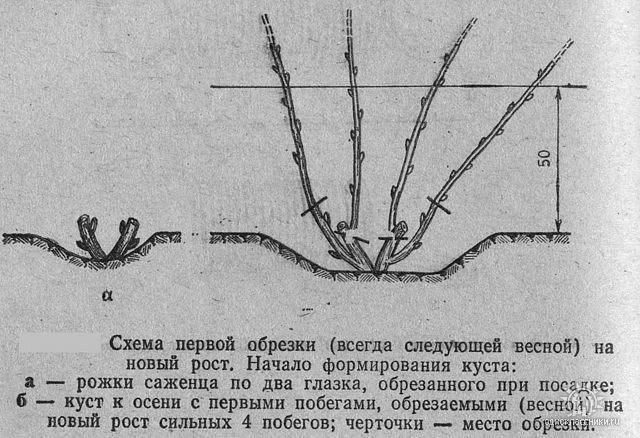 Схема обрезки чубушника