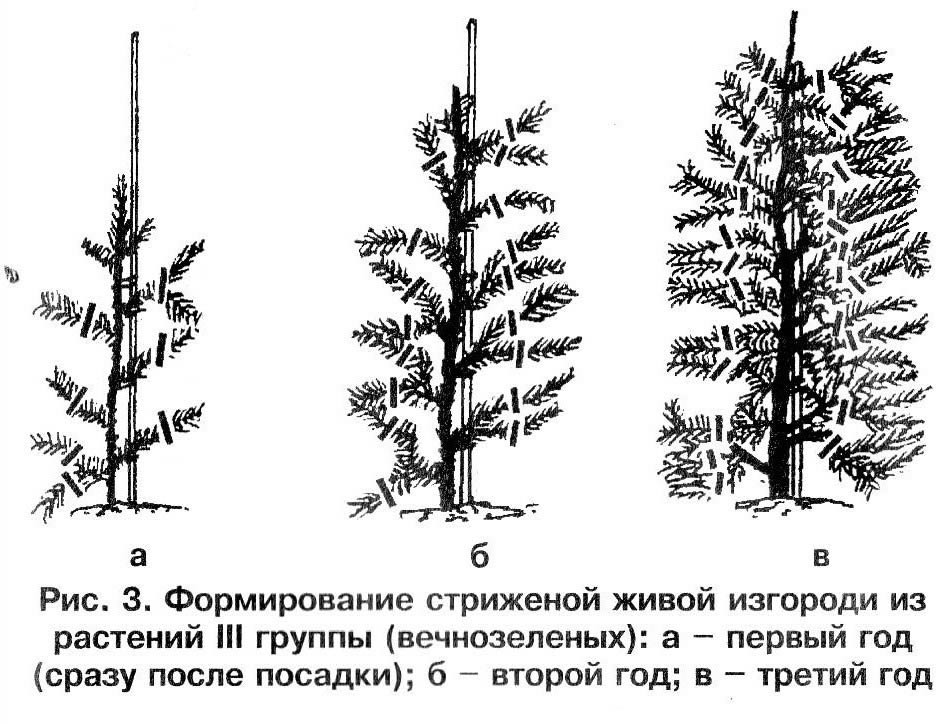 Формирование стриженой живой изгороди