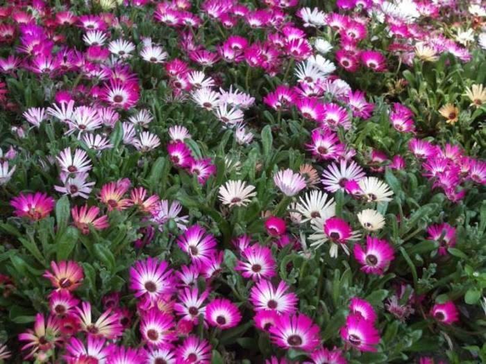Однолетние цветы  радуют Ваш глаз всего лишь один сезон.