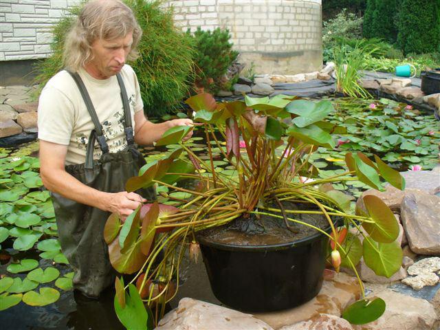 Выращивание водяных лилий из семян в домашних условиях 35