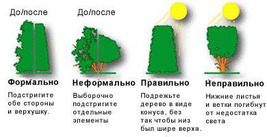 Выбор сорта для еловой изгороди