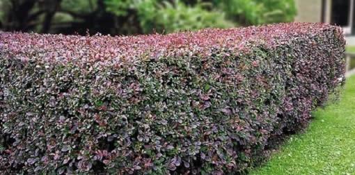 Изгородь из барбариса это не только