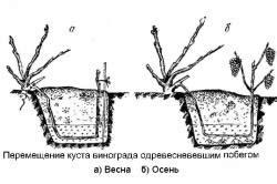 Схема перемещения куста винограда