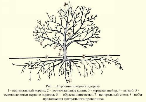 Схема строения плодового дерева