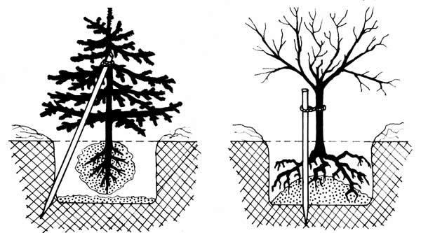 Схема посадки деревьев и кустарников