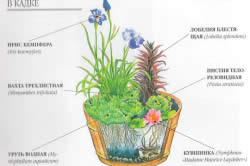 Вариант посадки водных растений в кадке