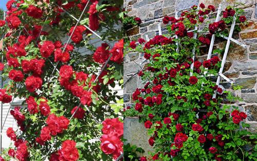 Если Вы хотите сделать Ваш сад оригинальным - розы на шпалерах помогут Вам в этом.