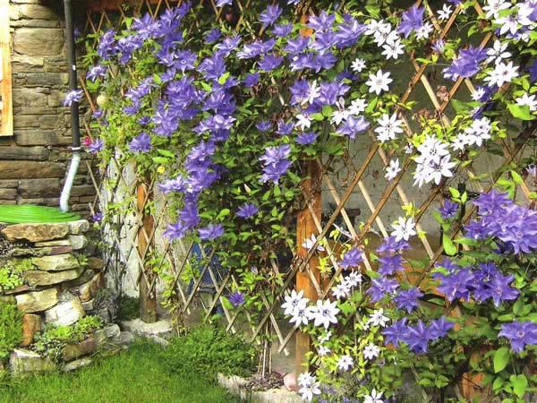 вьющиеся растения на даче фото и названия
