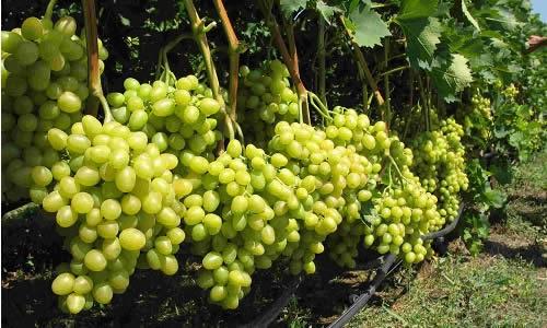 Виноградная изгородь