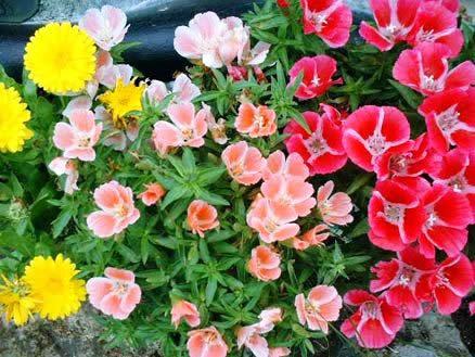 названия цветов по алфавиту с фото