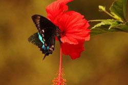 Бабочка на цветке гибискуса