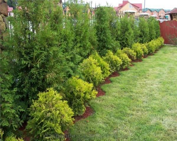 Деревья для ландшафтного дизайна своими руками фото 774